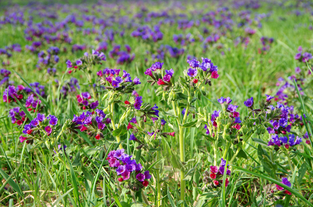 vernal: full of blooming blue and violet Lungwort flowers Stock Photo