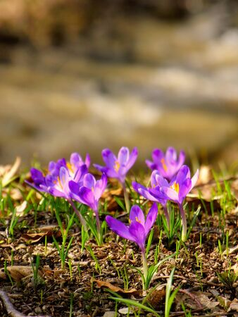 The crocuses family in the spring forest Stock Photo