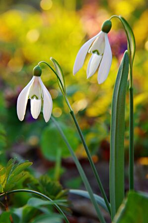 multiplicar: Galanthus nivalis flowers spring, white snowdrop flower with abstract bokeh background Foto de archivo