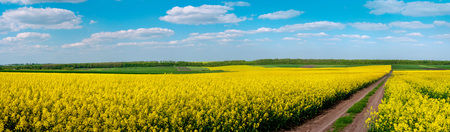 Dirt Road through Fields of Oilseed Rape in Bloom, Spring Landscape under Blue Sky