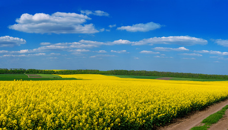 Fields of Oilseed Rape in Bloom