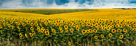 panoramic landscape view with a field of sunflowers