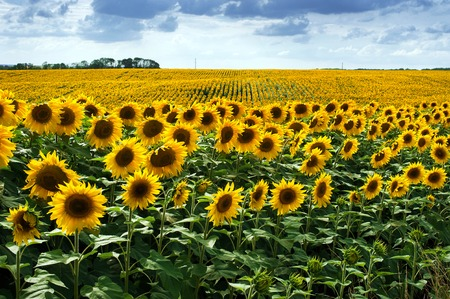 Sunflower field with cloudy blue in summer Stock Photo