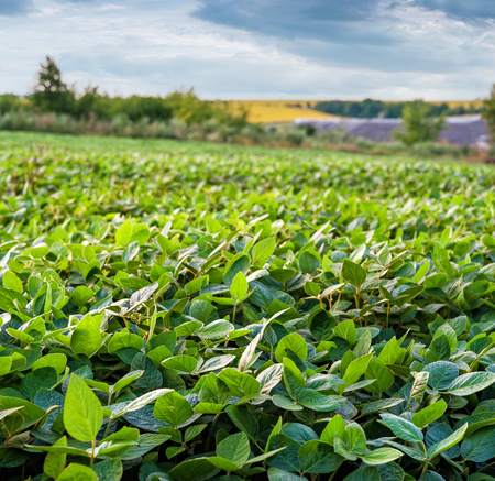 Soy field and soy plants in early morning light. Soy agriculture Stock Photo