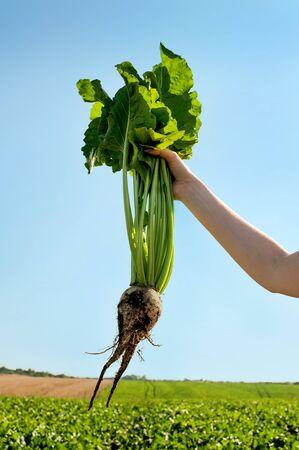 sugar beet in human hand