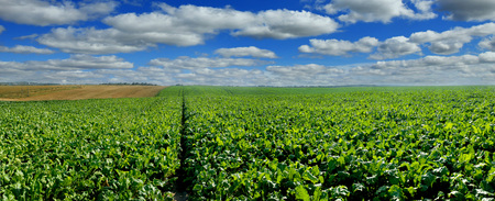 Sugar beet field panoramic view with cloudy blue sky Stock Photo