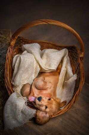 English cocker spaniel dog in a basket Stock Photo