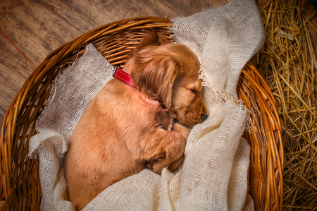 English cocker spaniel dog sleeping in a basket Imagens