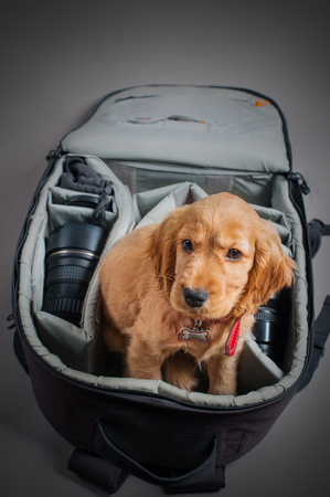 English cocer spaniel dog sleep in photographer backpack with lens Stock Photo