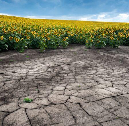 panoramic view of soil erosion sunflower field
