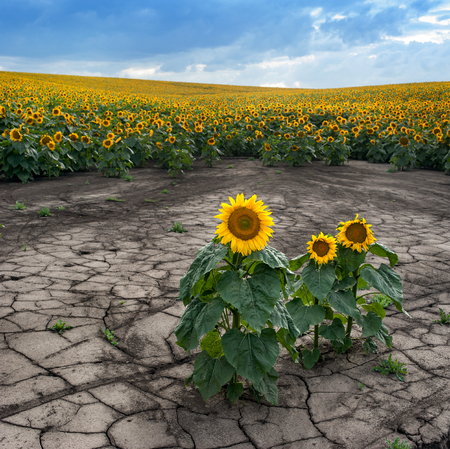 soil erosion of the sunflower field view
