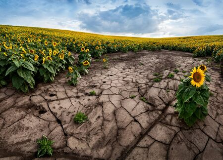 ecological disaster, soils of the sunflower field