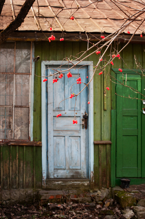 Small shack with blue door in spring garden with guelder rose