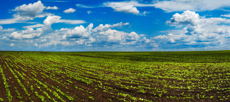 Sugar beet crops field, agricultural hills landscape Imagens