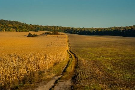 Field with ripe ears of wheat with dirt road Stock Photo
