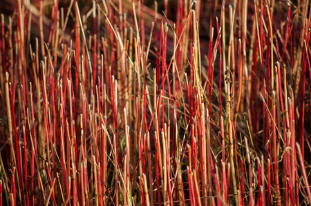 buckwheat red field closeup after harvesting