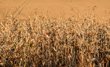 End of season field corn ready for harvest.