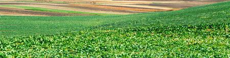 Sugar beet crops field, agricultural hills landscape Stock Photo