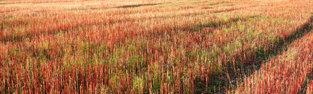 buckwheat field with red and green stem