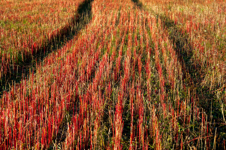 Autumn buckwheat field with red stem