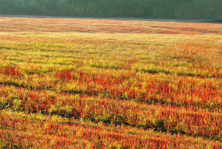 Autumn buckwheat field with red and green stem