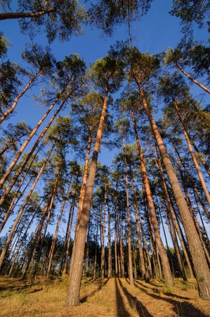 pine trees in a forest look up at the blue sky