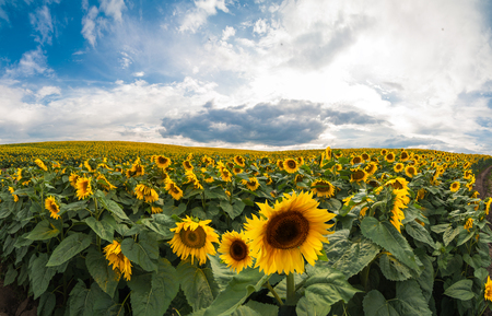 Beautiful view on sunflower field with cloudly sky