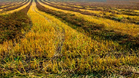 panoramic view of rows agriculture field, buckwheat sliced