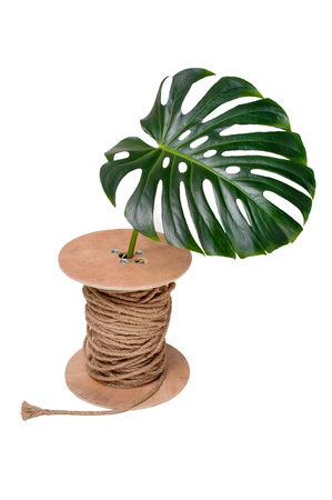 Green leave of plants Monstera in the the coil of rope on white background isolated