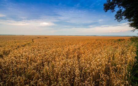 yellow wheat field at sunset light, evening light