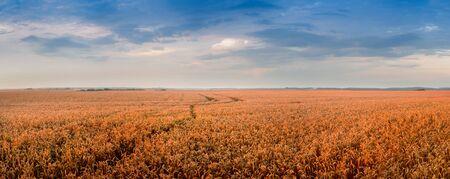 Goldene Weizenlandschaft zur Abendzeit Standard-Bild
