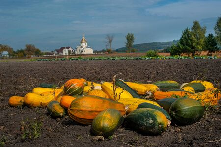 many pumpkins at field, autumn harvest, background