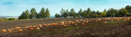 Pumpkin field in the village and harvest in autumn day