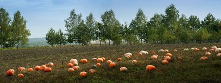 Pumpkins are scattered in the field. in the village harvest pumpkins in autumn day