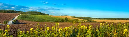 beautiful panoramic view of wheat field, ears and yellow and sunflowers