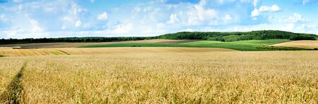 beautiful landscape panoramic view of wheat field, ears and yellow and green hills 版權商用圖片