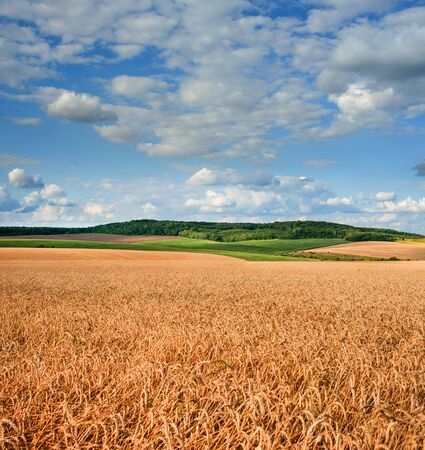 great field of wheat under beautiful blue cloudy sky