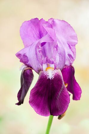 Beautiful iris in springtime with selective focus on one blurred blurred background Banco de Imagens