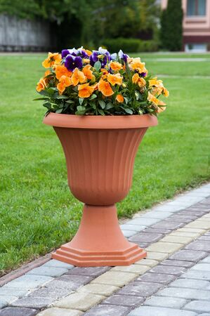 Pansy flowers in a pot at pavement and grass background