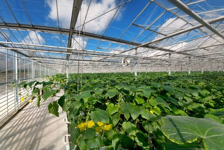 rows of cucumbers in a modern greenhouse, growing vegetables, designs made of glass, view above