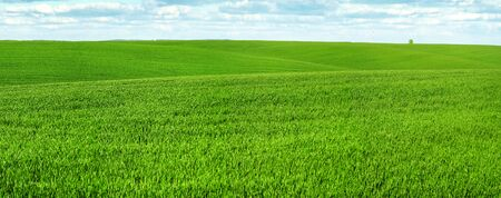 Spring landscape of green hills and lines field of winter crops at spring