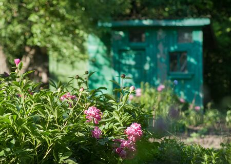 Gardener's wooden house in spring time with pions flowers