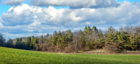 green field of winter wheat and pine in the forest, landscape at spring