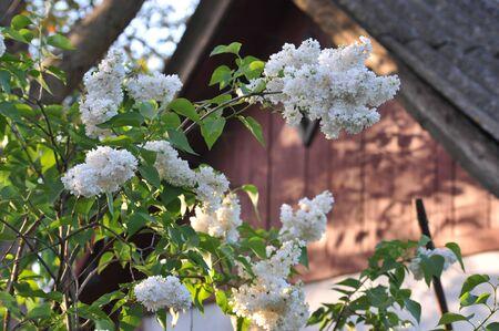 fragrant white curly lilak flower at springtime on old rural garden Banque d'images