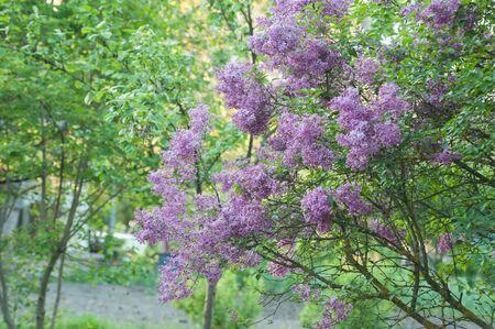 bush of fragrant curly lilak flower at springtime on old garden Banque d'images