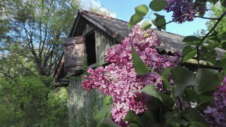 fragrant violet curly lilak flower at springtime on old rural garden