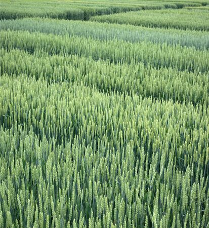 Lines of demo plots sectors of cereals with new varieties in agriculture