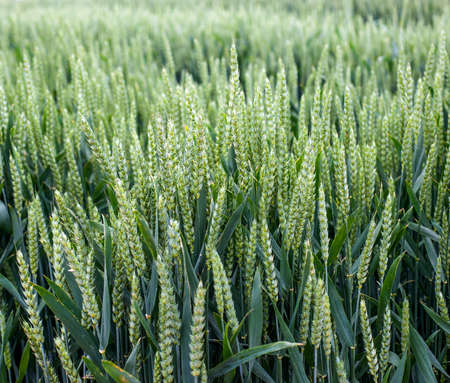 winter wheat, green spikelet close up, agricultural selection of new varieties