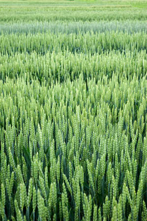 demo plots of cereals with pointers flags, new varieties in winter wheat