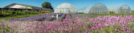 Panoramic view of lavender field rows and greenhouse with pink dried flowers in front